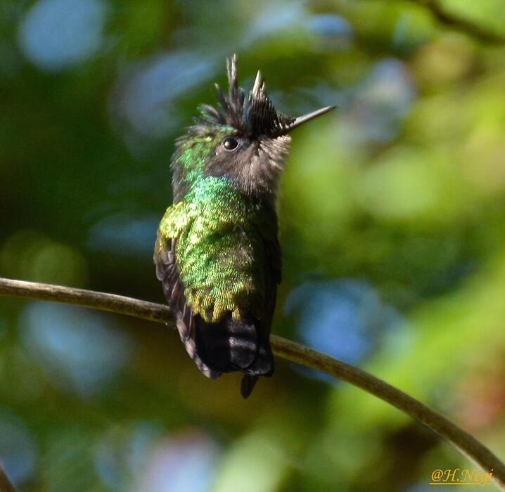 colibri, martinqiue