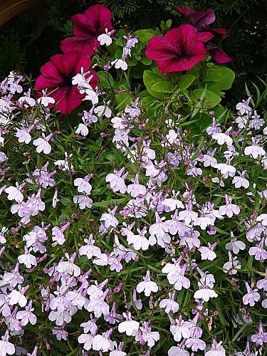 Lobelias-lilas---petunia-pourpre-15-06-12-009.jpg