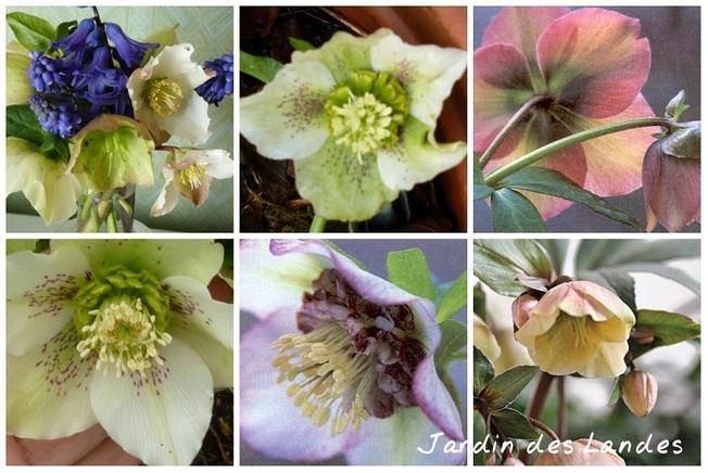 La plante de la semaine - L'Hellebore.