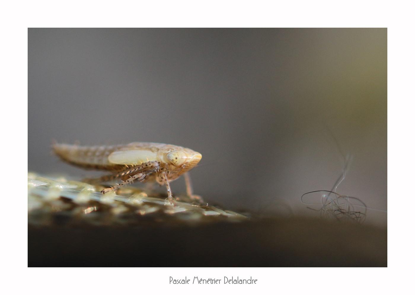 Cicadelle immature