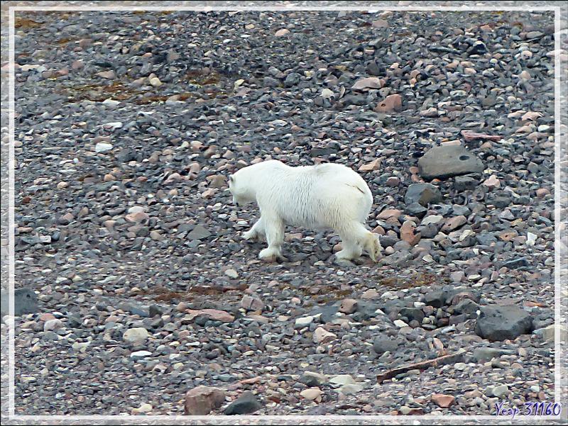 Notre premier ours blanc (Polar bear) de la journée (fin) - Peel Sound - Prince of Wales Island - Nunavut - Canada