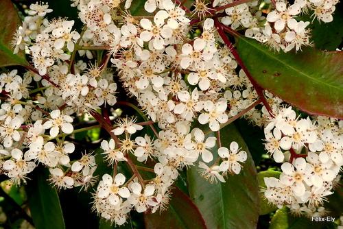 Le photinia : fleurs (2)