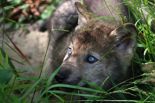 Loups 01