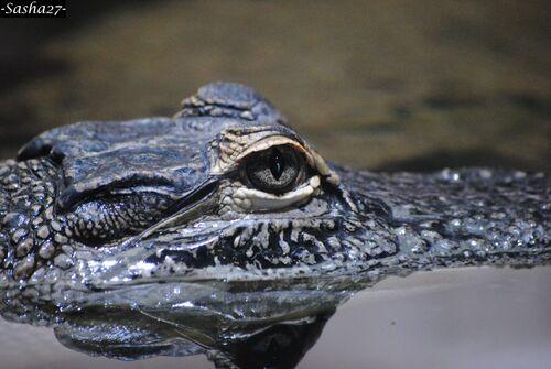 Bébé Alligator du Mississippi.