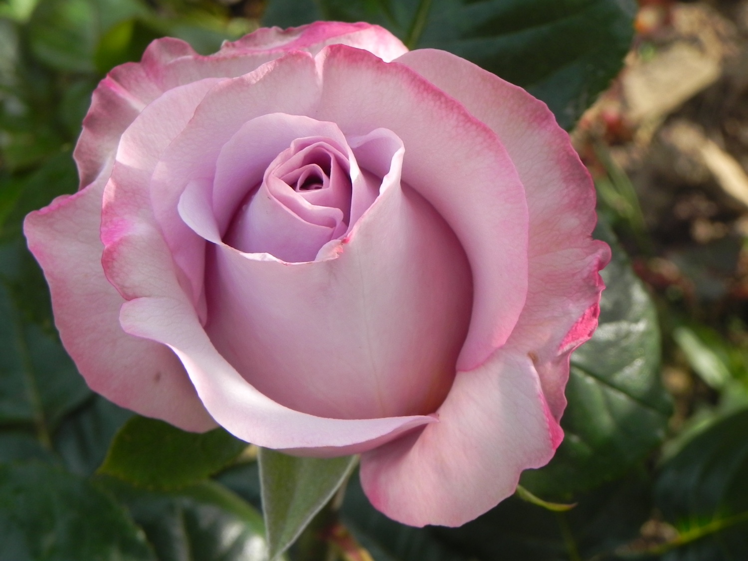 Rose bleue signification fashion designs - Signification rose rose ...