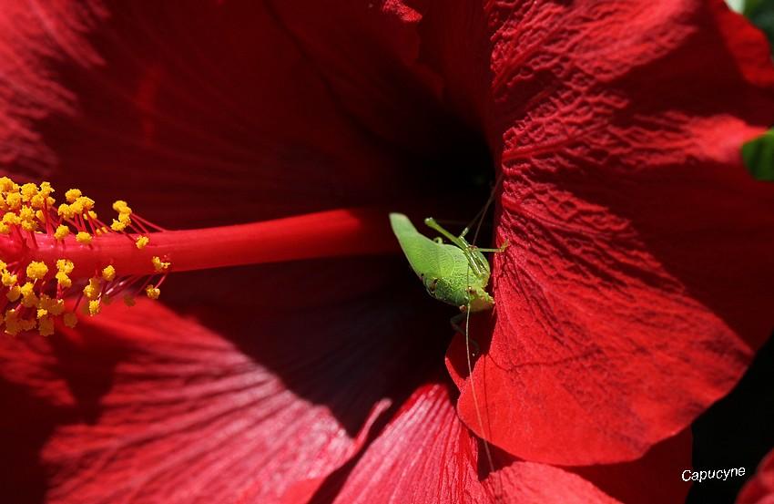 De belles exotiques : Hibiscus et Anthurium