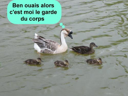 la vraie parade des canards