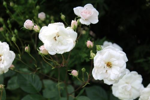 Rosiers buissons ou arbustifs