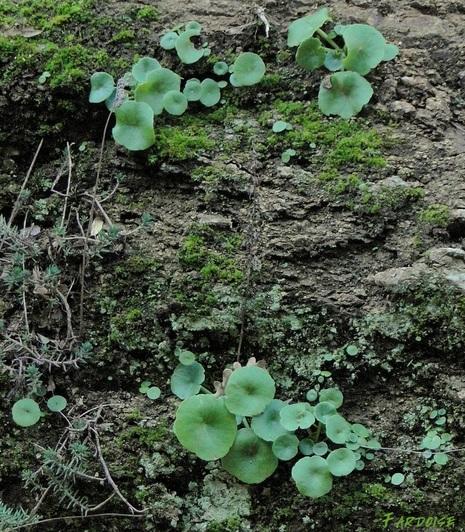 Quelle est cette petite plante qui pousse dans les rochers ?