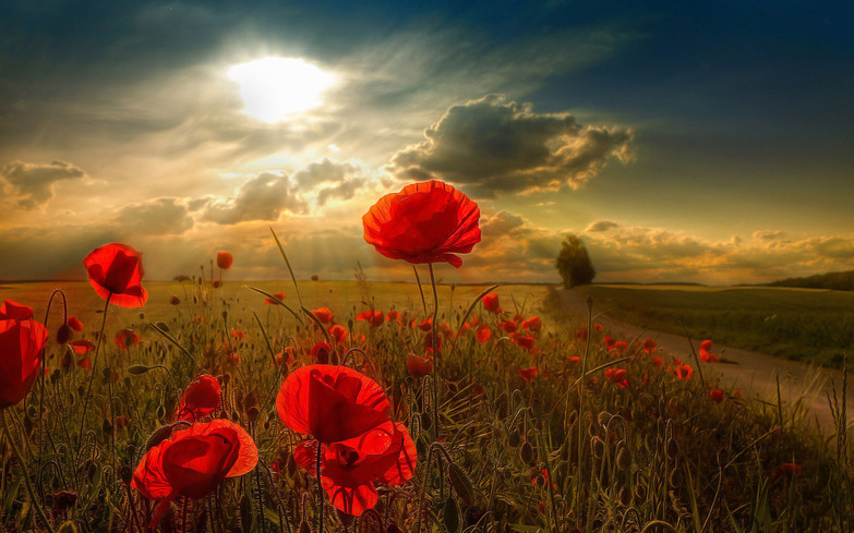 http://www.hdwallpaperscool.com/wp-content/uploads/2014/11/poppies-flower-wide-hd-wallpaper-free-download-flower-pictures.jpg