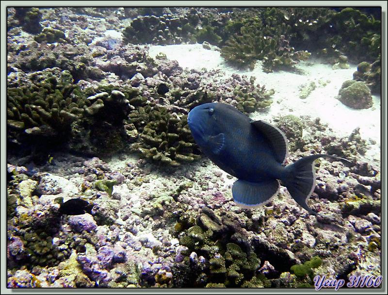 Plongée bouteille Passe Tumakohua : Baliste vermiculé - Fakarava - Polynésie