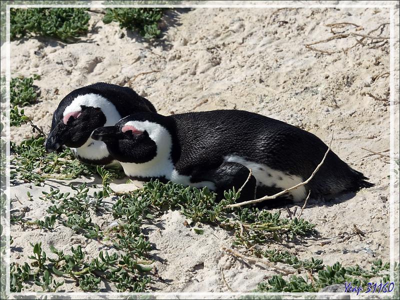 Manchots du Cap, African Penguins (Spheniscus demersus) - Boulders Beach - Simon's Town - Afrique du Sud