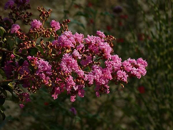 Lagestromia bouquet fleurs