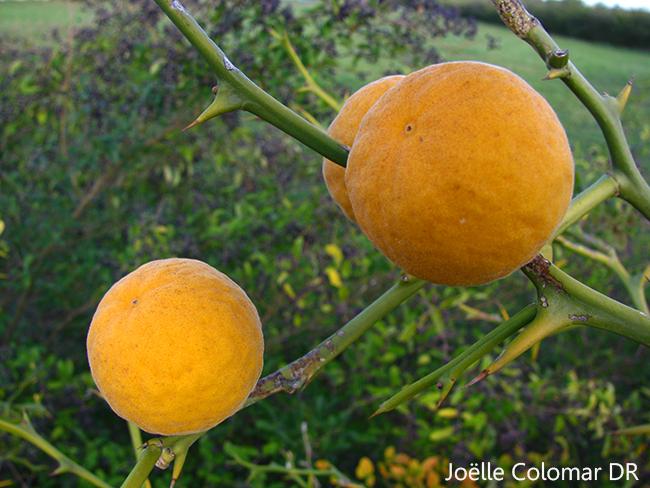 Oranges ?