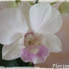 Dendrobium_snow_jade_09_2014_02