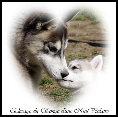 Elevage Husky Chiots (44j)