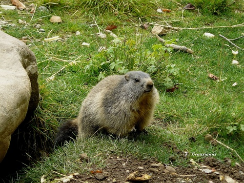 Galerie - Espiègles marmottes