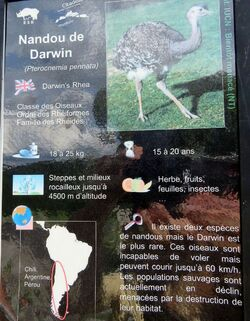 Nandou de Darwin