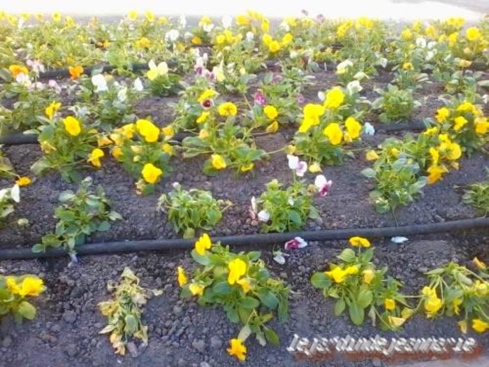 La viola cornuta est une très jolie petite fleur qui fleurît tout l'hiver.  La plantation et l'entretien vous aideront à avoir de belles fleurs de l'automne au printemps.