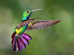 Le petit colibri, meilleur qu'un pilote de chasse ...