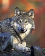 Le loup.