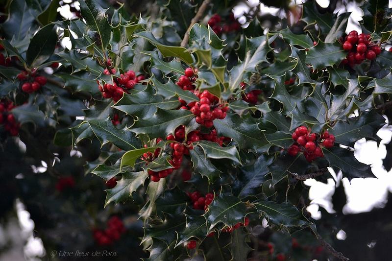 Le Houx : Le symbole de Noël