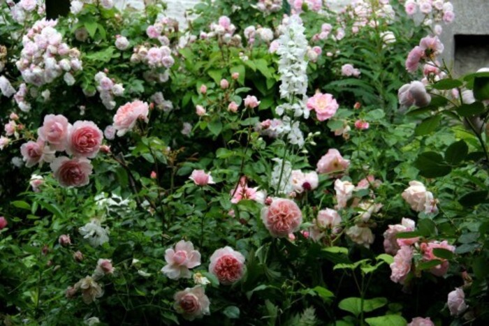 Un bouton, une rose, un rosier : Wildeve