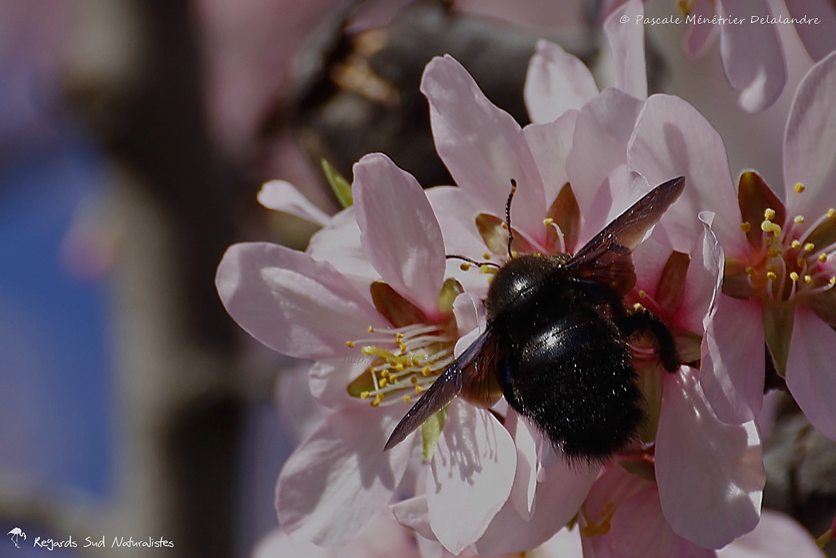 Xylocope ou Abeille charpentière