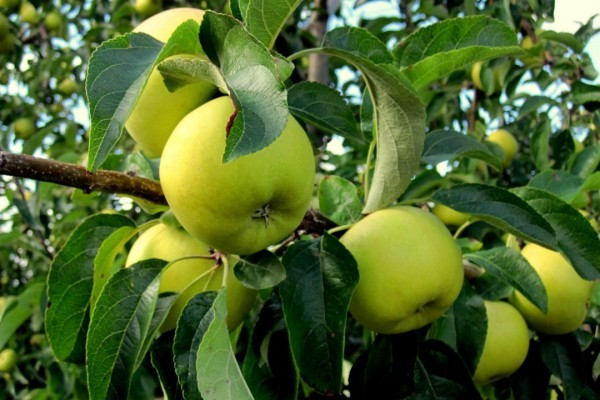 dz04 - Des pommes
