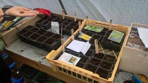 Semis de plantes tinctoriales