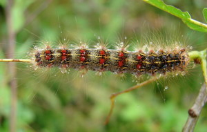 Bombyx disparate, Lymantria dispar L. (Lymantridae)...