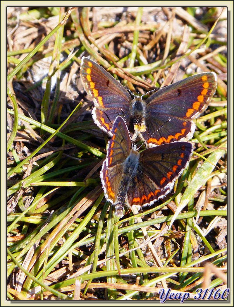 """Papillons """"collier de corail"""" (Aricia agestis) - La Couarde sur Mer - Ile de Ré - 17"""