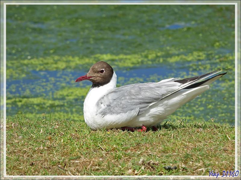 Superbe Mouette rieuse, Black-headed Gull (Chroicocephalus ridibundus) - La Couarde-sur-Mer - Île de Ré - 17