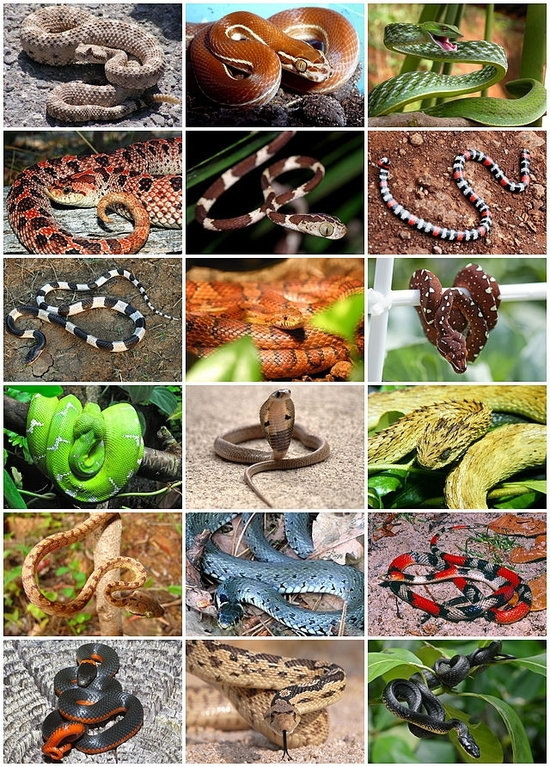 640px-Snakes_Diversity