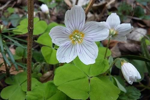 Vertus médicinales des plantes sauvages : Surelle