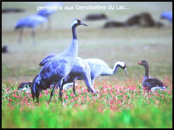 """Une sortie dans lAube et la Marne, à la rencontre des """"Demoiselles du lac du Der"""", avec la Société Mycologique du Châtillonnais"""