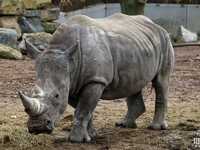 Rhinocéros : Pairi Daiza : 11 novembre 2015