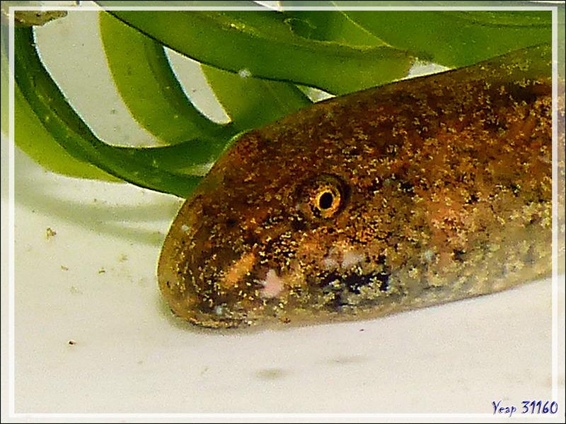 La trilogie des têtards : crapaud, grenouille, alyte - Lartigau - Milhas - 31