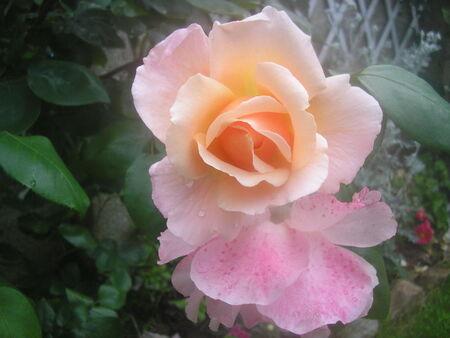 fleurs_jardin_mai_2008_013