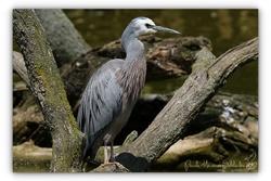 Aigrette à face blanche - Parc des oiseaux