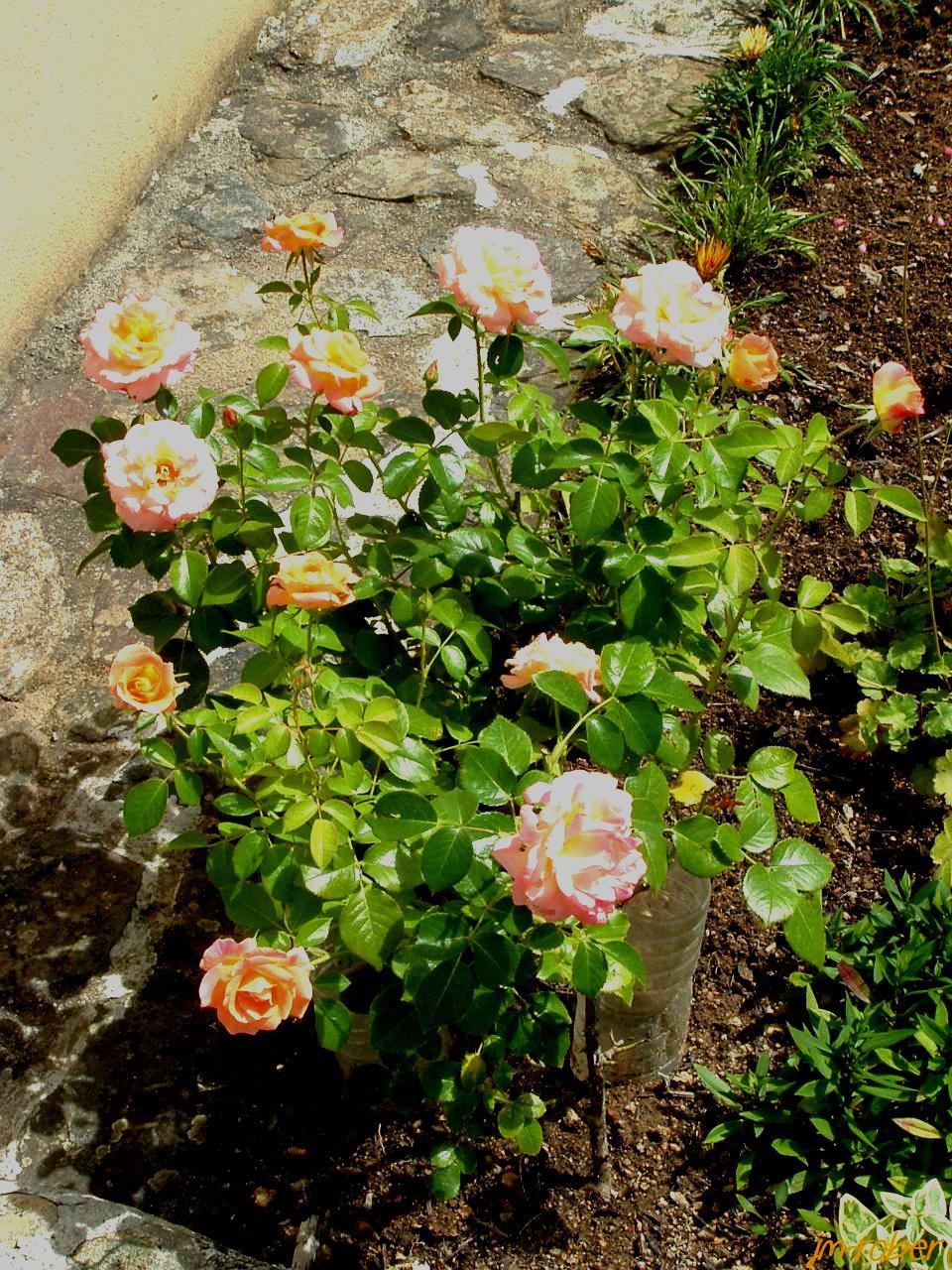 Août , bientôt à la mi-été, mais le jardin explose de mille couleurs