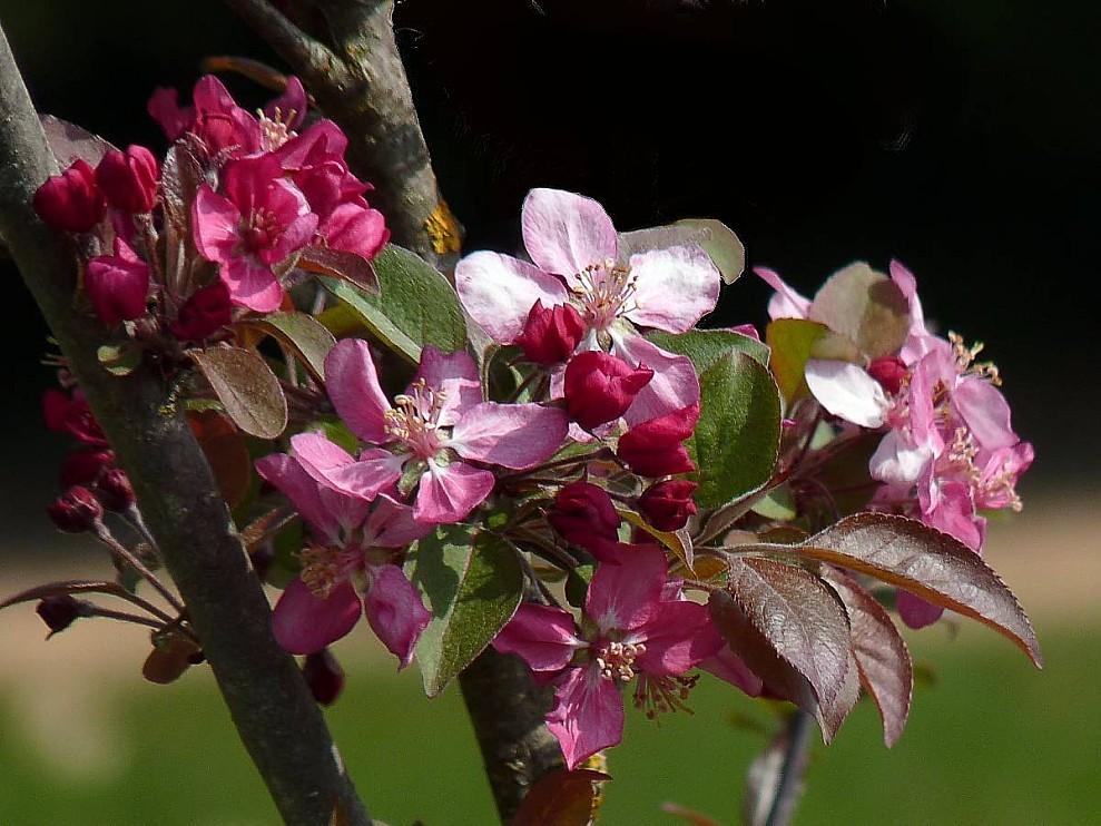 Fleurs-de-pommier-Malus-nicoline.jpg