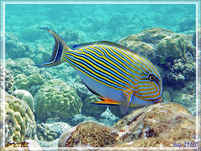 Le sublime Poisson Chirurgien clown, Chirurgien à lignes bleues, Chirurgien zèbre, Lined surgeonfish (Acanthurus lineatus) - Moofushi - Atoll d'Ari - Maldives