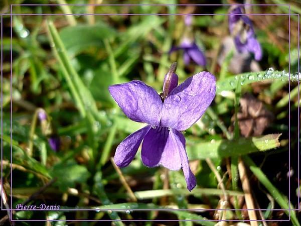 Violette11