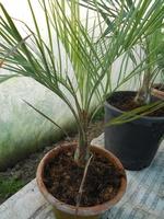 butia catarinensis 2