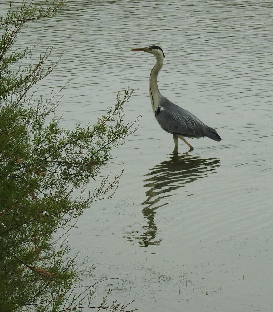 Les hérons cendrés au Parc du Teich...