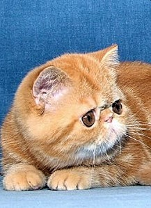 l-exotic-shorthair-red-tabby-306604-copie-1