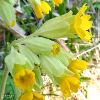 Primula veris - primevère officinale - coucou