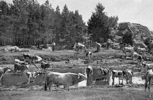 Des vaches en cartes postales