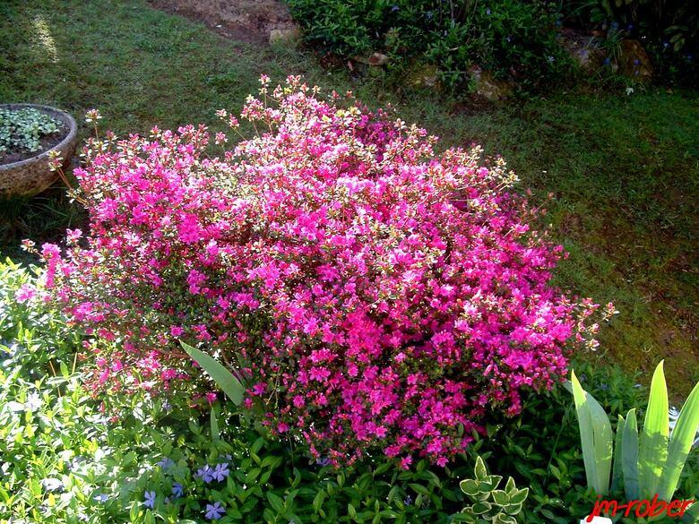 L'Azalée, une  floraison éclatante en Avril